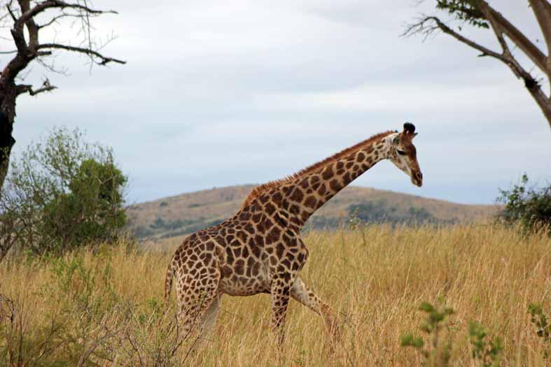 giraffe-hluhluwe_2861