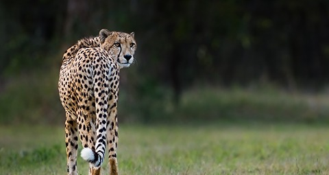 cheetah-2013-03