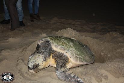 turtle large