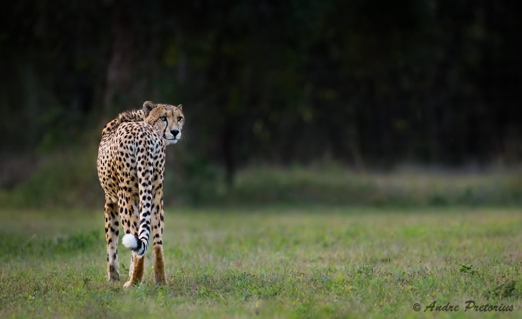 Adult Cheetah