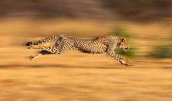 Ways Cheetahs Adapt To Their Surroundings For Survival
